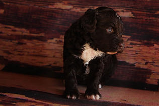 Australian Labradoodles, puppies for sale, Raleigh, NC