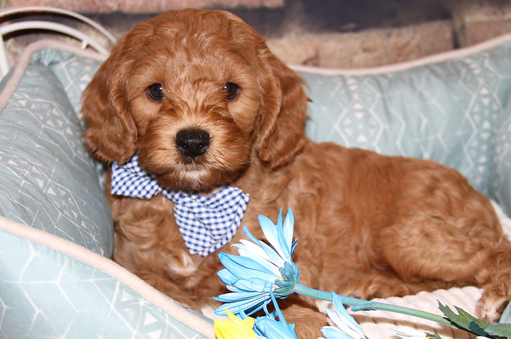 Lake Blue Labradoodle  Red Puppy
