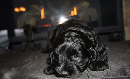 Lake Blue Labradoodles, labradoodle puppy, allergy friendly puppies
