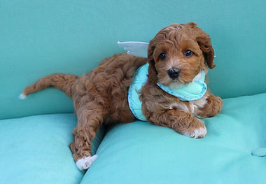 Lake Blue Labradoos, puppies, red puppies, labradoodle, east coast labradoodle, dog breeder
