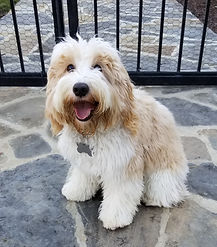 Mountain Home Doodles, Johnny B Good also known as Patches puppy pictures at Lake Blue Labradoodles