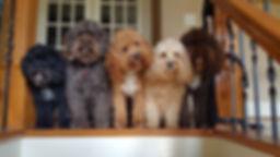 Lake Blue Labradoodles, labradoodle puppy, NC Labradoodle breeder, puppy