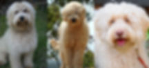 Cream coloted labradoodles