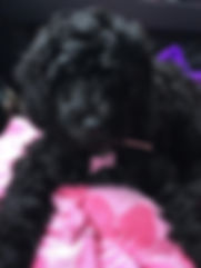 Lake Blue Labradoodles Zoe, a black femal with pink halter and hair bow