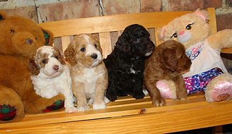 Lake blue Labradoodles Shadow Litter of 4 sitting on bench at six weeks old