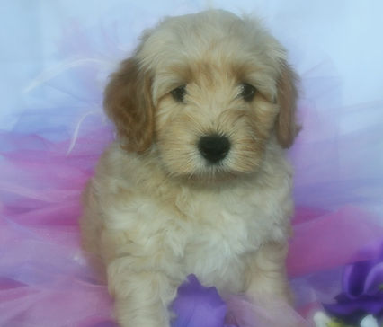 Labradoodles, Labradoodle puppies, Labradoodle puppies for sale, Labradoodles in NC