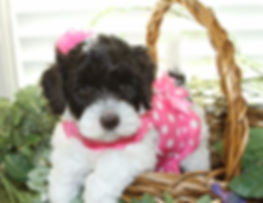 Lake blue Labradoodles chocolate and wite parti girl Jayla as  a puppy