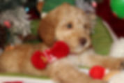 Teddy as a puppy dressed out in his Christmas outfit.