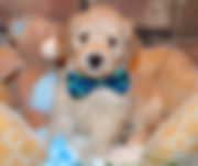 Lake Blue Labradoos, labradoodle puppies, labradoodles, nc labradoodles, east coast labradoodles