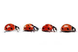 Seven-spotted ladybug isolated on  white