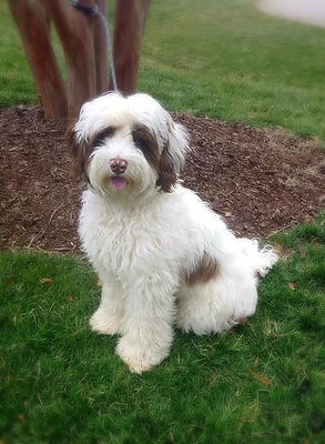 Oscar a choolate and white australian labradoodle with chocolate eyes called Bandit.  He is a Lake Blue Australia labradoodle