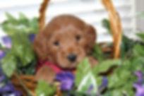 Labradoodle, Labradoodle Puppy, Lake Blue Labradoodle Red Puppy