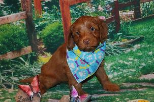 A red Australian Labradoodle puppy at seven weeks old.