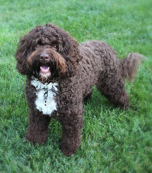 CocoaBleu, a choolate and white tuxedo witha curly coat at Lake Blue Labraoodles