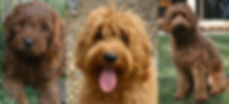 Red Australian Labradoodles must have blk nose