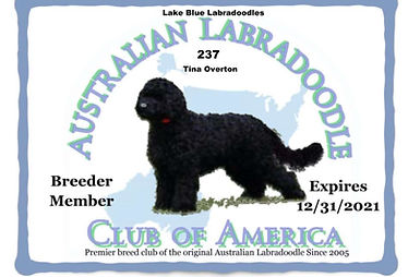 237 Lake Blue  Labradoodles __ Tina Over