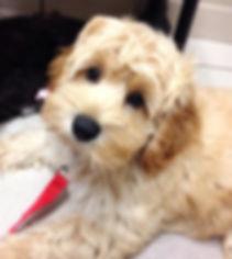 LakeBlue Labradoodle Puppy