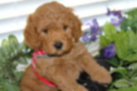 Lake Blue Labradoodle Puppy, Labradoodle, Red Puppy, Mini red puppy