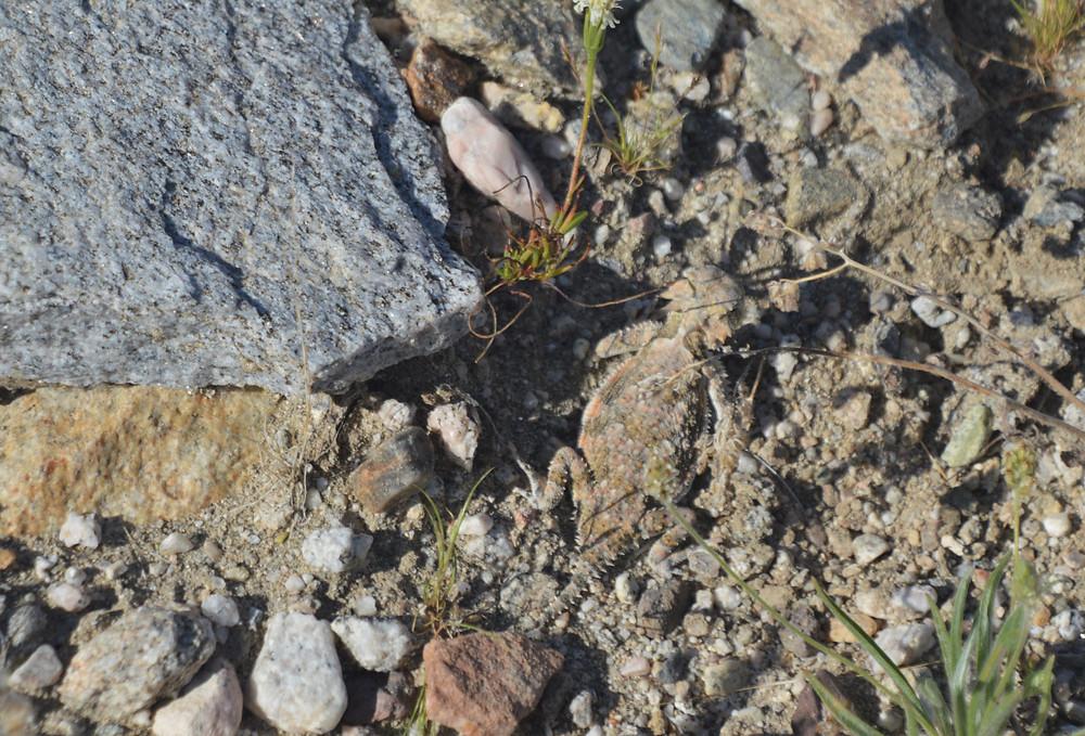 Desert Horned Lizard along the Kim Nichols trail in the Indio Hills