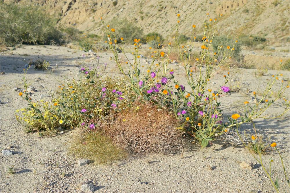 Arrangement of orange desert sunflowers, yellow desert dandelions and purple desert san verbena