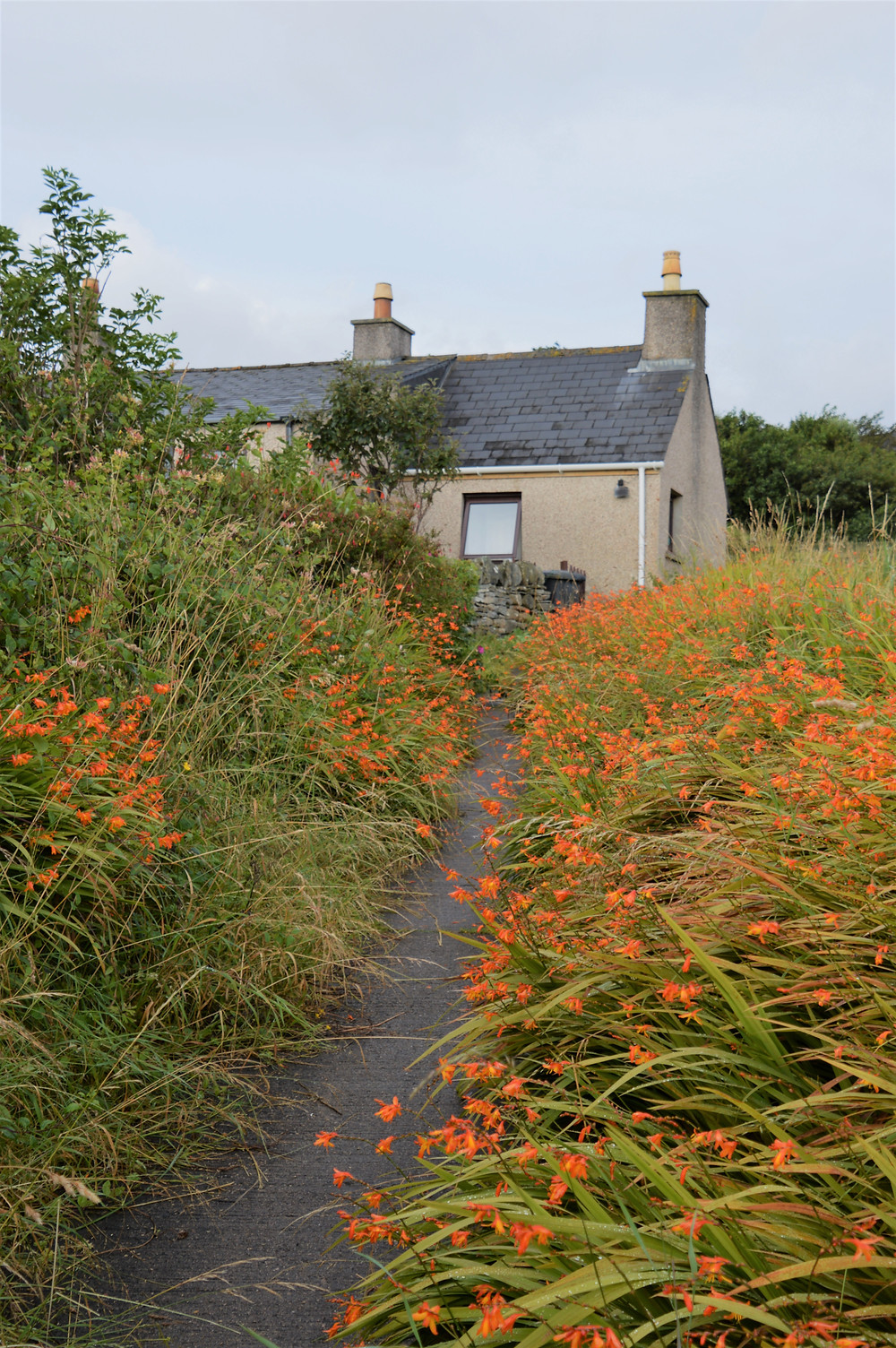 Flower lined trail on Great Bernera Loop hike on the NW coast of Isle of Lewis, Outer Hebrides