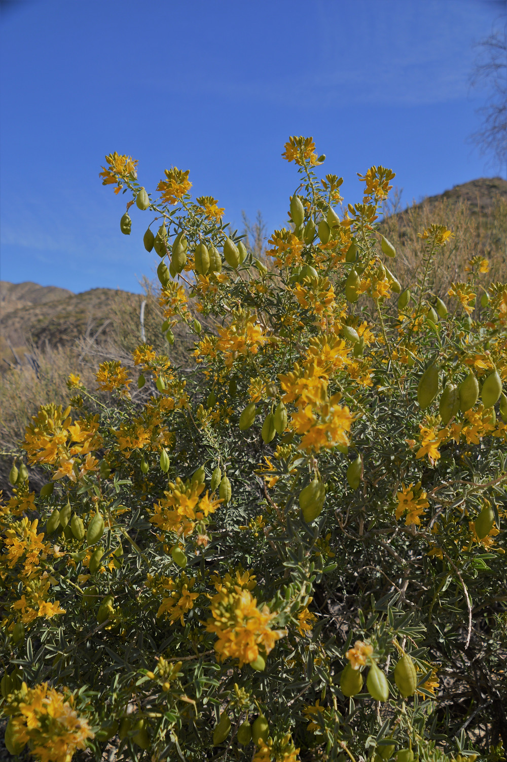 Bladder pods and their bright yellow flowers along the Big Morongo Canyon Trail in the Little San Bernardino Mountains in Morongo Valley