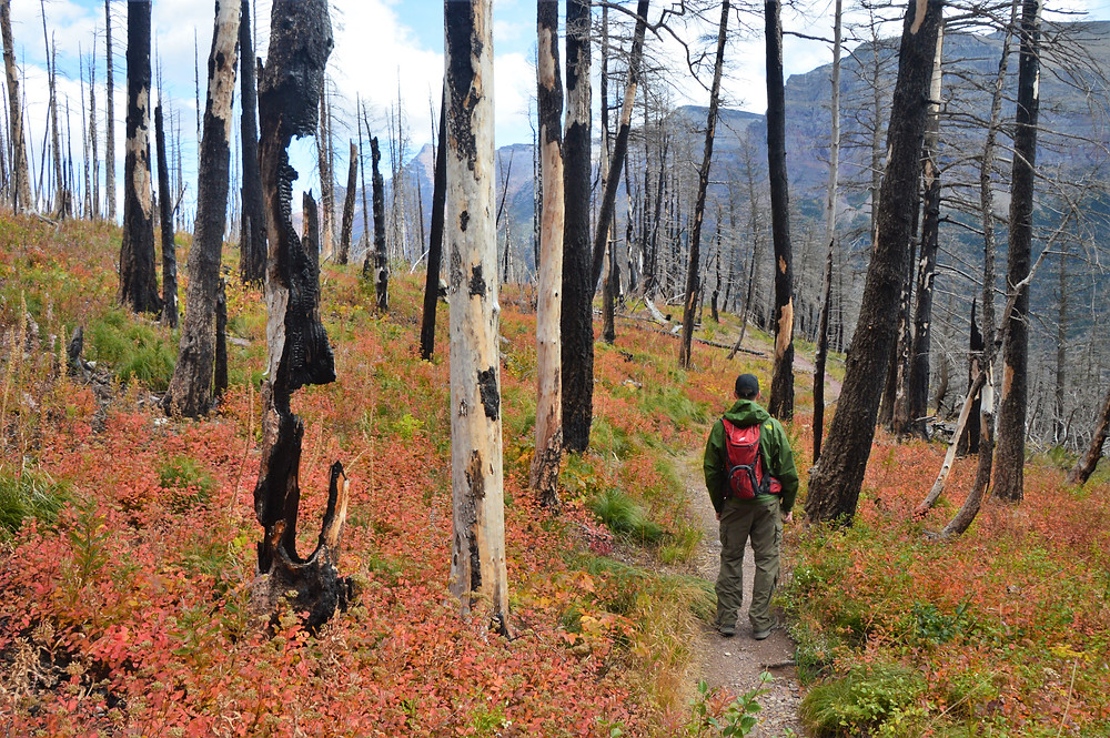 match stick forest, siyeh pass trail hike, glacier national park
