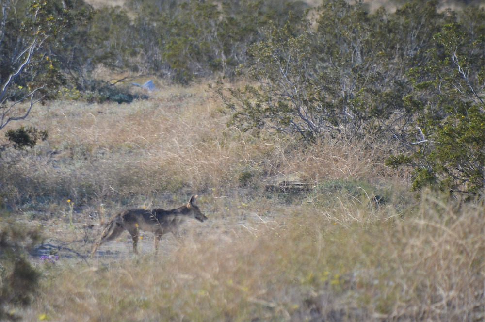 Coyote on the Kim Nichols Trail