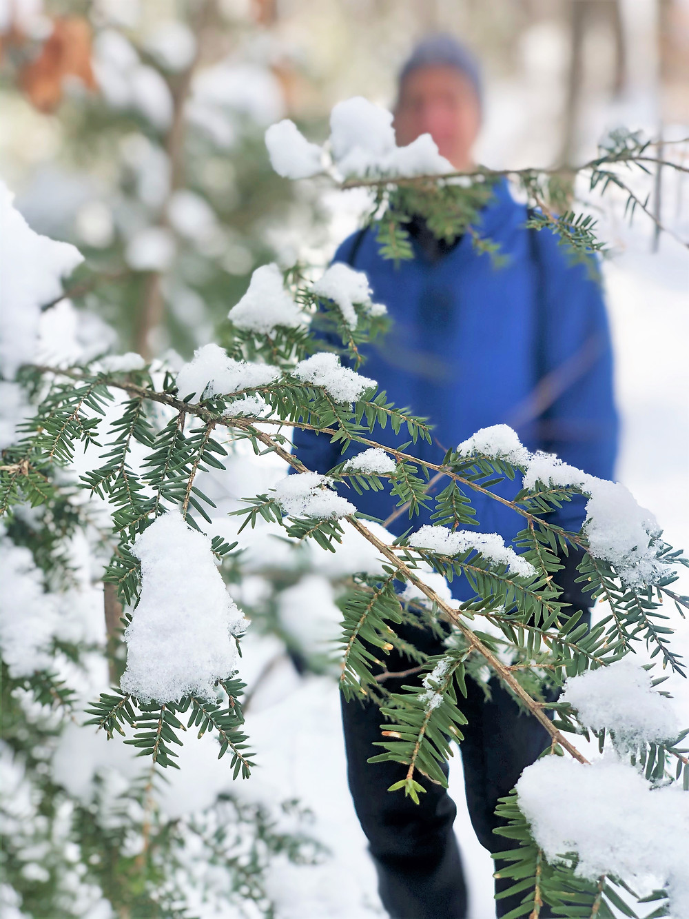 Snow covering evergreen branch at Beaver Brook Conservations Lands in Hollis new Hampshire