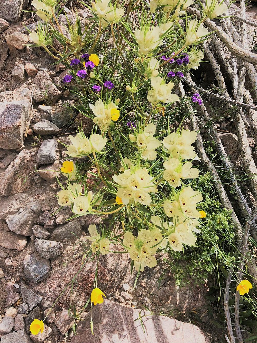 Ghost wildflowers at Joshua Tree National Park