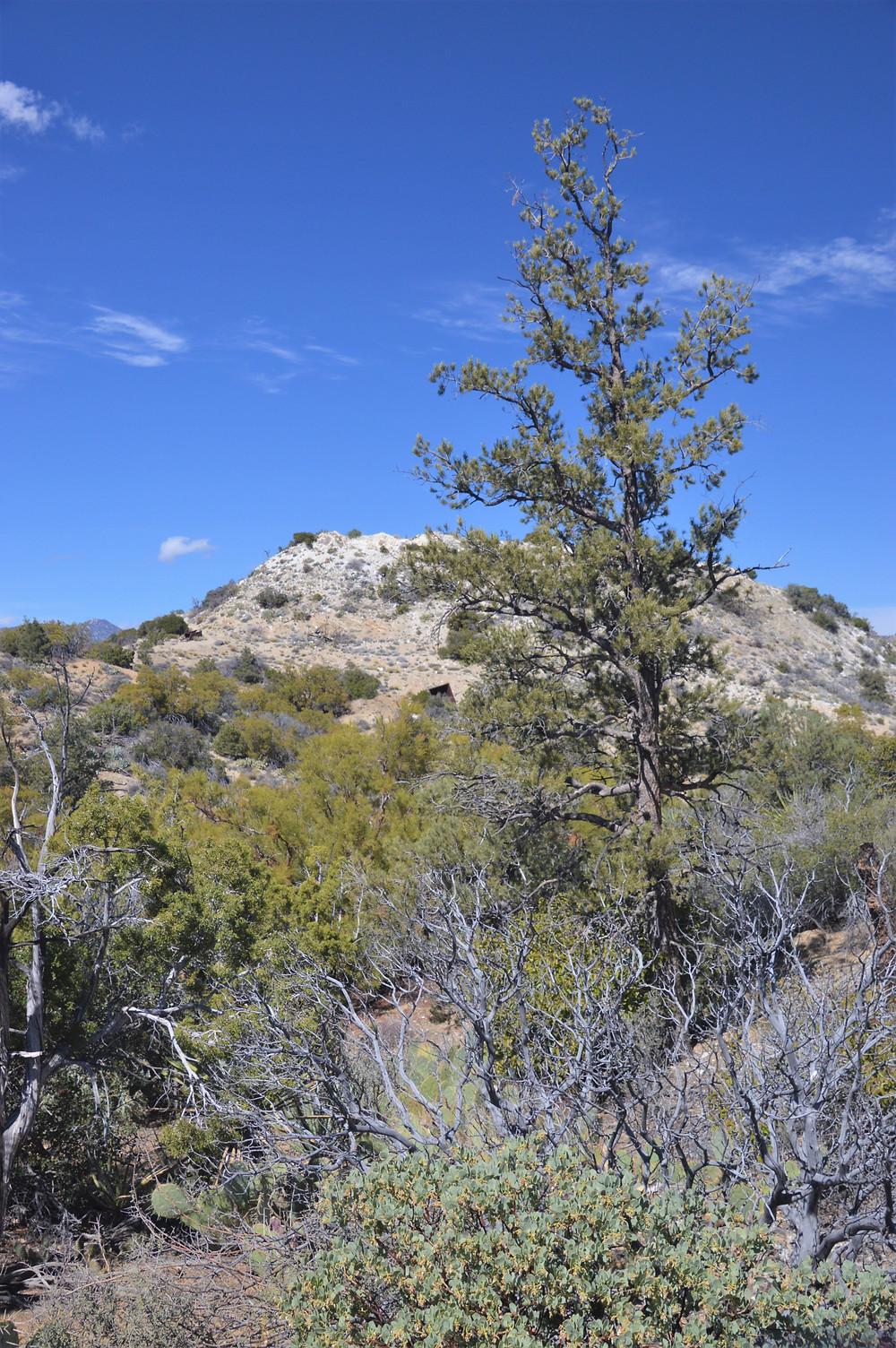Transmontane region. Manzanita, beavertail cactus and redshank along Cactus Spring trail in the Santa