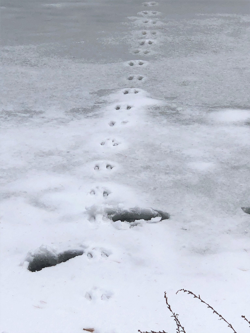 Footprints in ice on the canal running through Mine Falls Park in Nashua NH