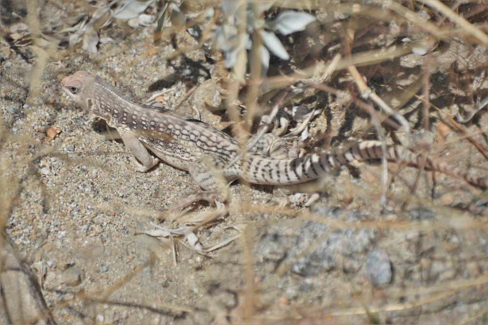 Desert iguana along Indio Hills Badland Loop Trail