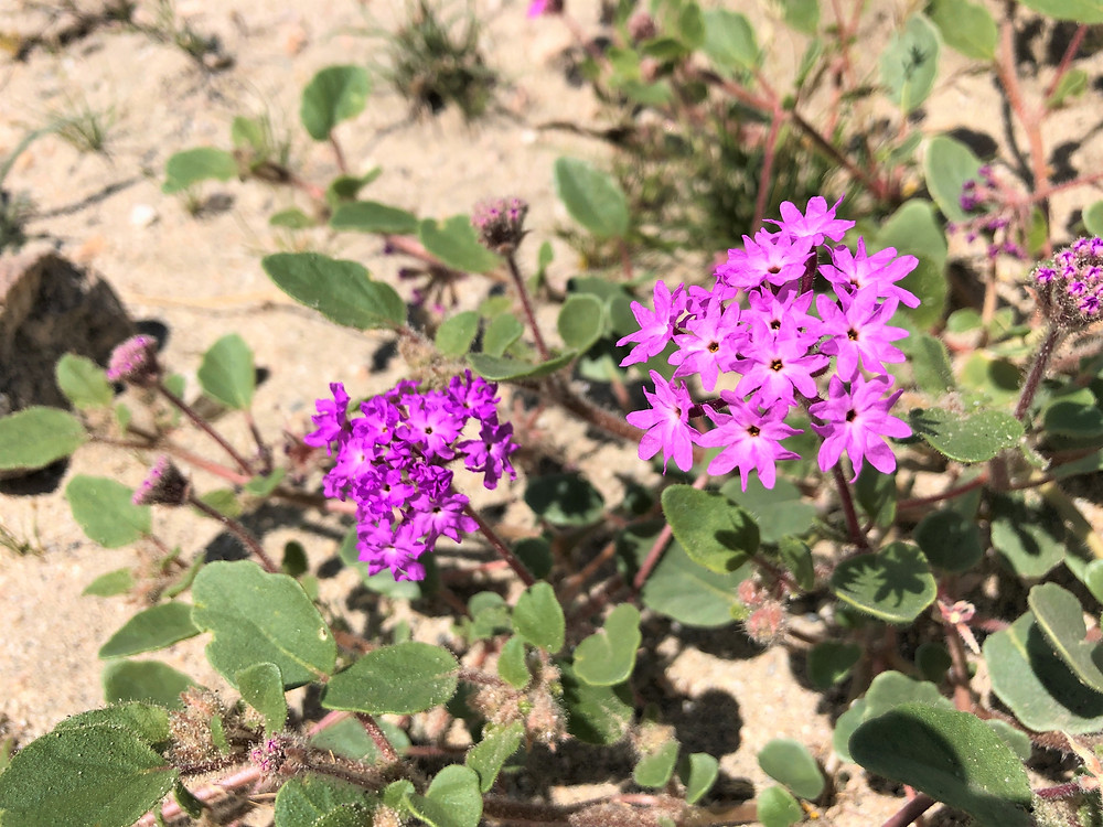 Flowering Desert sand verbena along Indio Hills Badland Loop Trail