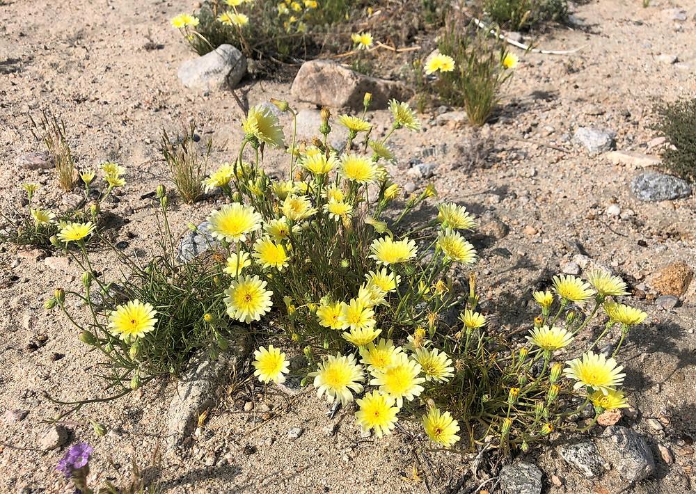 Flowering desert dandelion in sandy wash on the Willis Palm Loop Trail