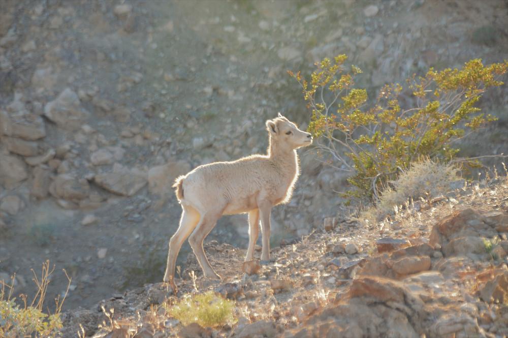 Pennisular bighorn sheep lamb along the Art Smith trail in the Santa Rosa Mountains