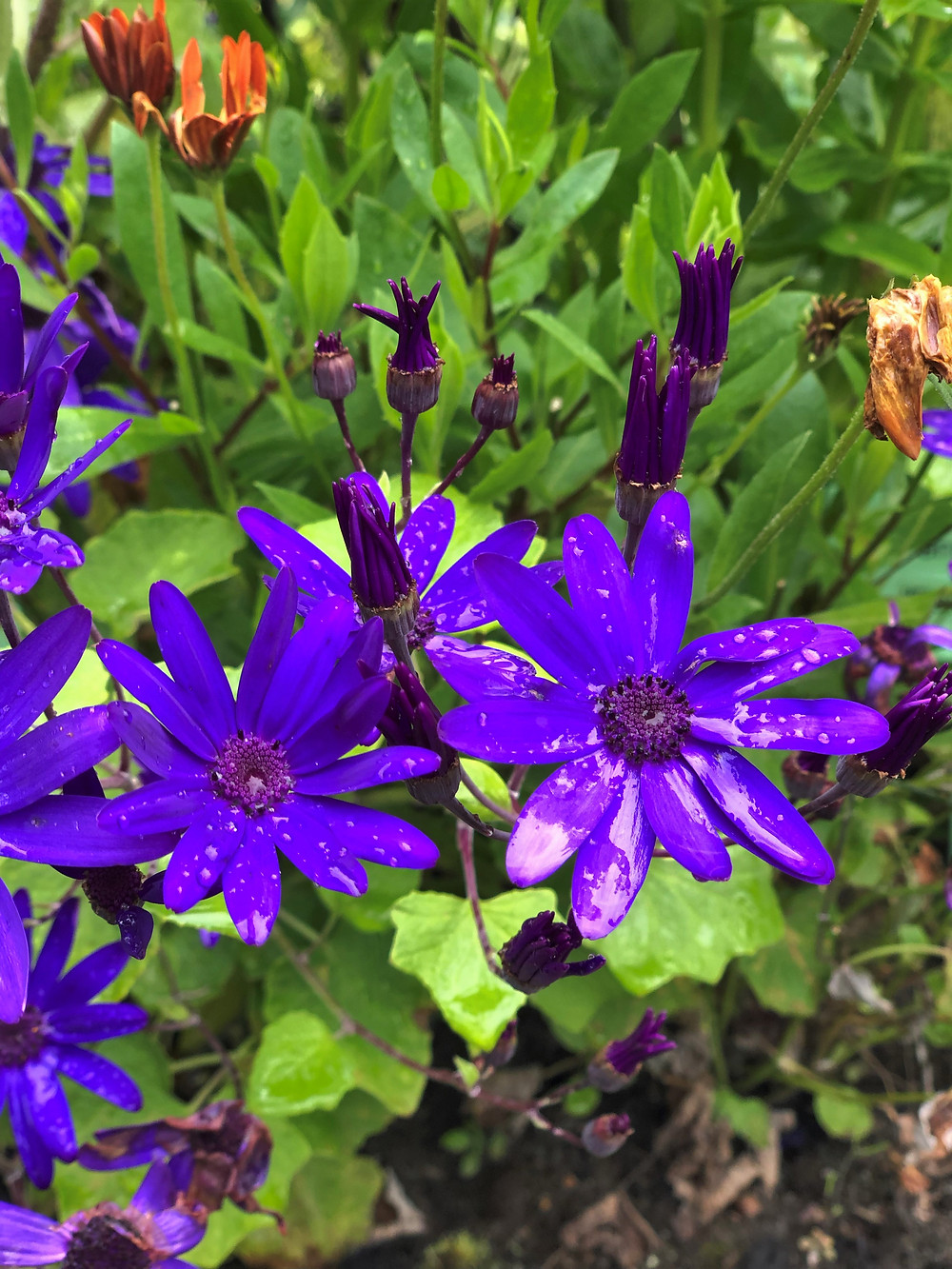 Purple flowers in the gardens surrounding Dunvegan Castle on the Isle of Skye
