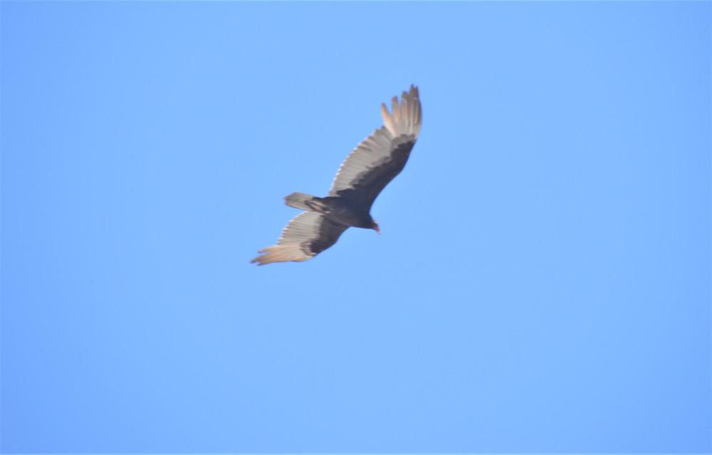 Turkey vulture along the Hahn Vista Trail in the Santa Rosa Mountains