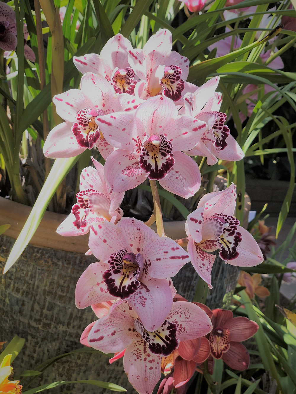 Pink orchids in the Botanical Building and Gardens in Balboa Park in San Diego