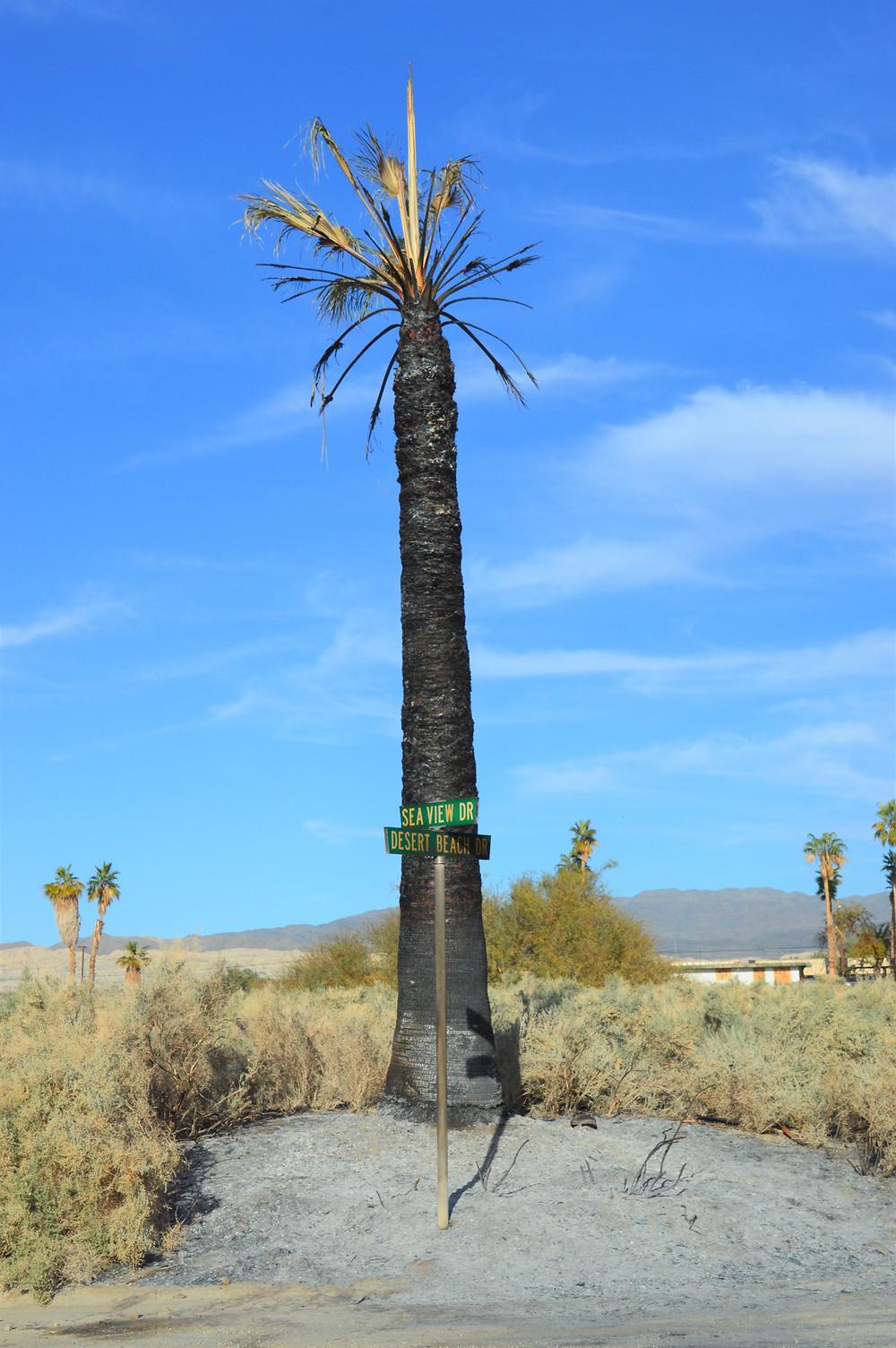 Burned palm tree in abandoned Salton Sea community