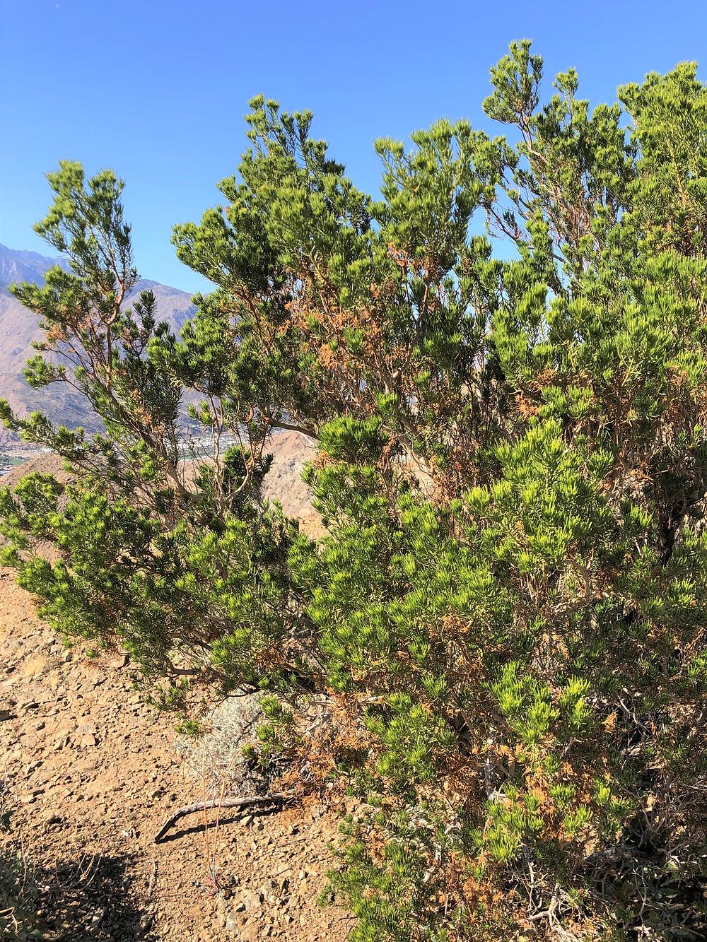 Schott's pygmy cedar on trail leading to Murray Hill in Santa Rosa Mountains