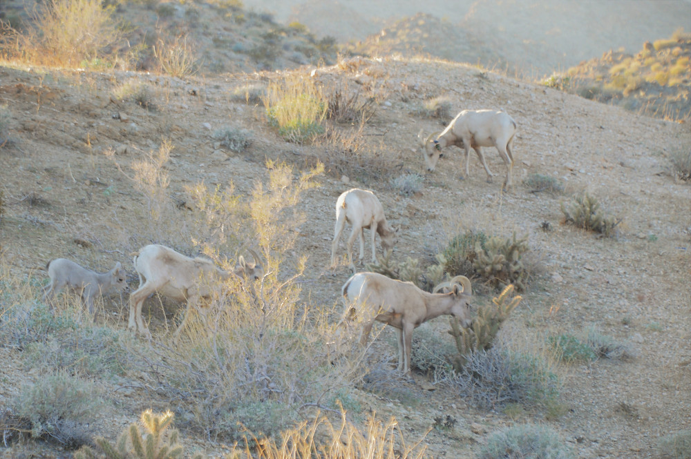 Pennisular bighorn sheep and lamb feeding on the Art Smith trail in the Santa Rosa Mountains