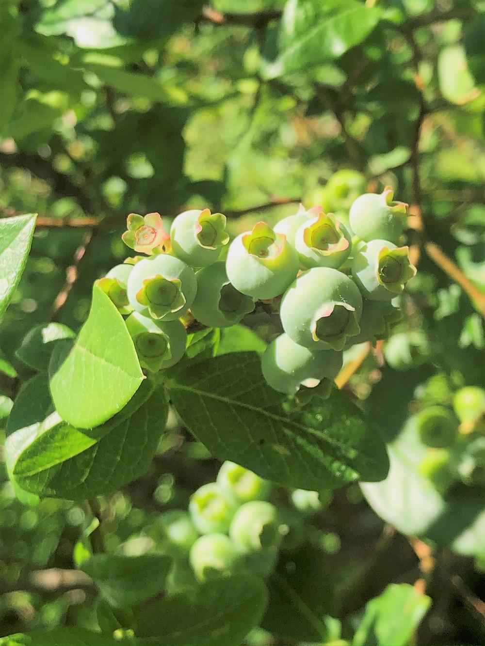 Wild blueberries at Snake Pond in Gardner, MA