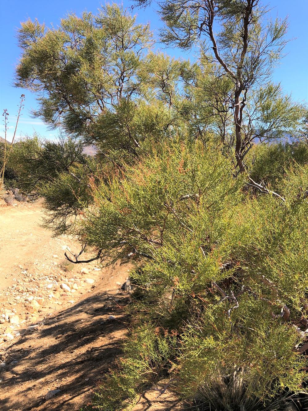Redshank shrub along the Cactus Spring trail in the Santa Rosa Mountain Wilderness