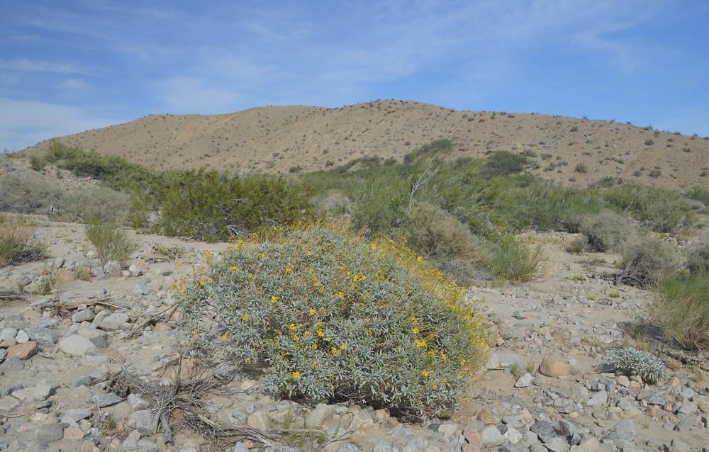 Flowering Encelia at Willis Palms Oasis