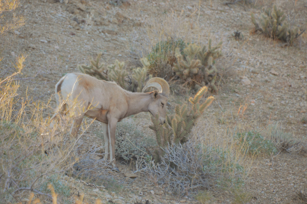 Pennisular bighorn sheep feeding on the Art Smith trail in the Santa Rosa Mountains