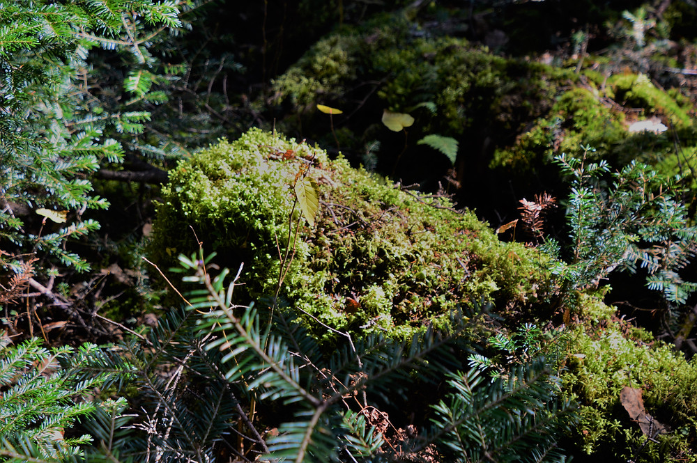 Moss covered rocks on Gorge Brook Trail leading to summit of Mt Moosilauke in NH.  NH 4000 footer