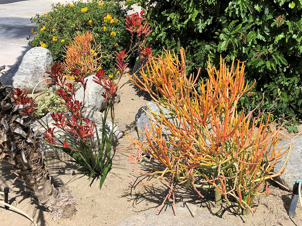 Firestick plant and Kangaroo Paws plant in garden