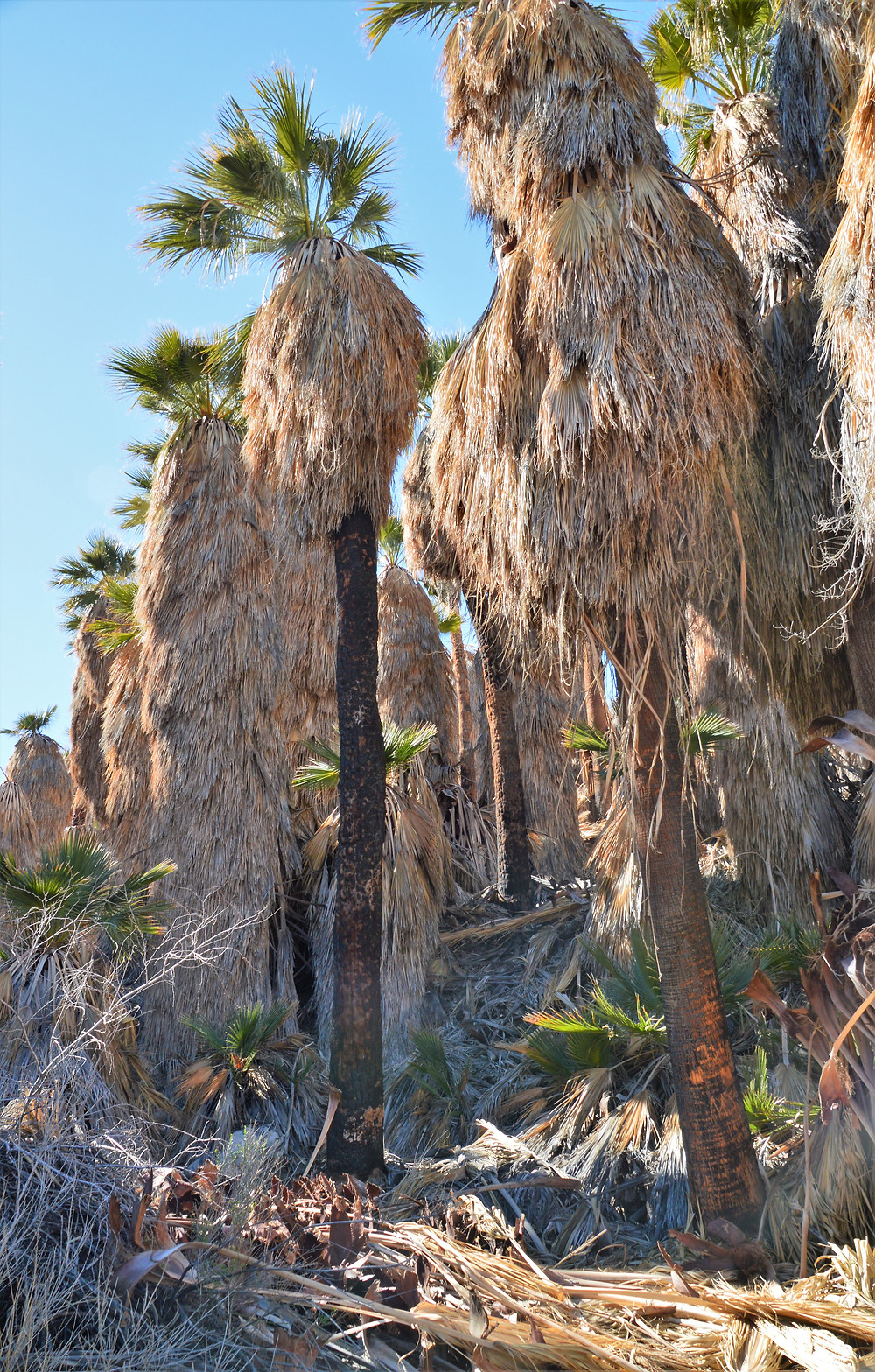 Bear Creek Palm Oasis supported by spring fed streams from the canyons and Santa Rosa Mountains