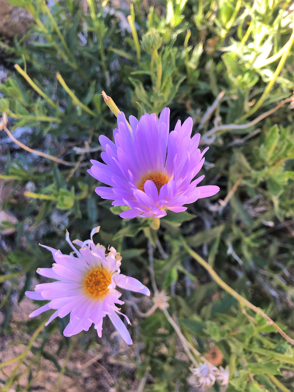 Purple Desert Asters along the Chocolate Drop Trail in foothills on the Little San Bernardino Mountains